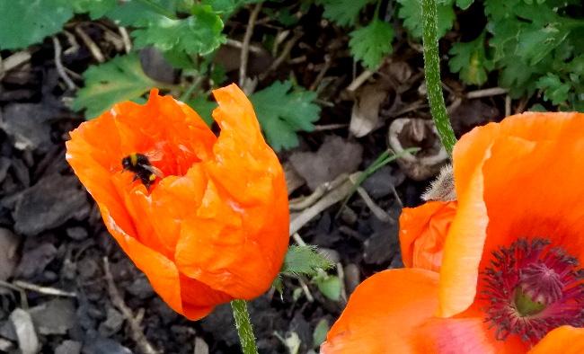 Poppy-Bumblebee