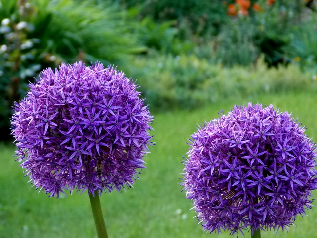 Purple-Flower-Balls