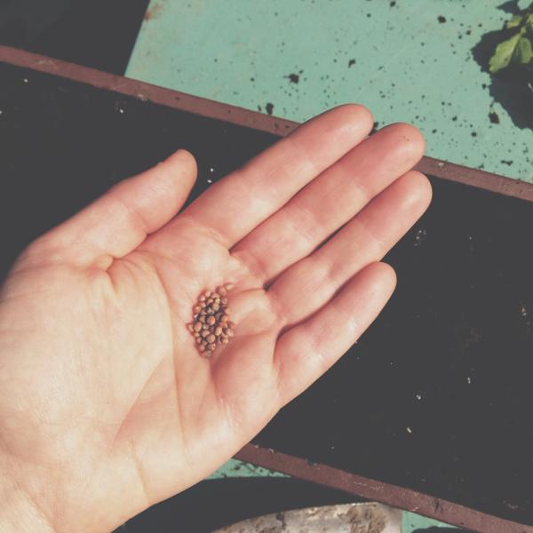 Radieschen-Samen