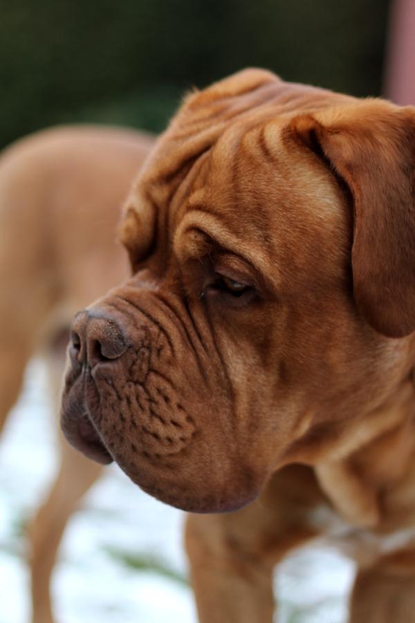 Bordeaux-Dogge-Newton3