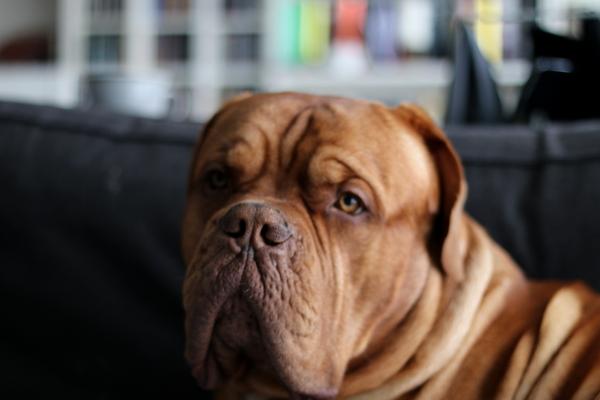 Bordeaux-Dogge-Newton4