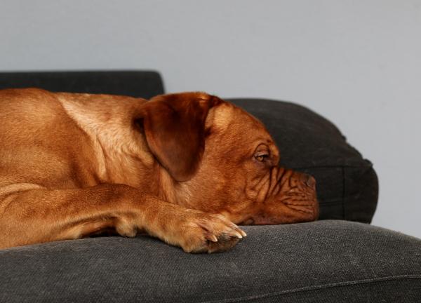 Bordeaux-Dogge-Newton9