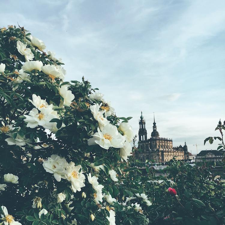 Blumen am Dresdner Elbufer